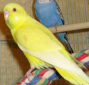 Budgerigars For Sale....3 months old
