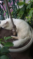 White,  persian, male cat for sale